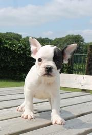 Wunderschöne Typvoll Französische Bulldoggen welpen zur Anahme!!