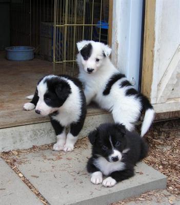 niedlich und sensible 12 Wochen alt Border Collie zur Adoption